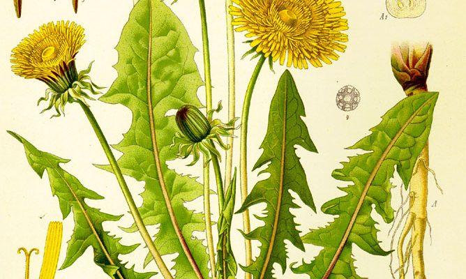 Dessin réaliste de pissenlits en couleurs rogné, montrant les différentes parties et étapes de floraison d'un pissenlit: les feuilles, les tiges, les fleurs, les racines, etc.